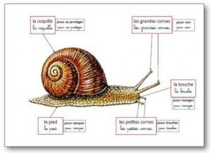 Affichage anatomie de l'escargot