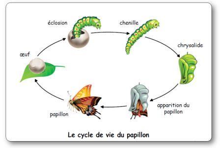 Cycle de vie du papillon Elevage de chenilles et de papillons en classe maternelle
