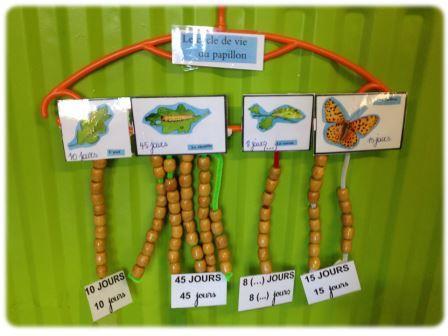 Compter le nombre de jours de chaque stade du cycle de vie du papillon