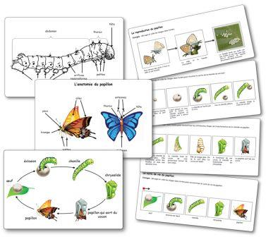 élevage de papillons en maternelle, Séquence Elevage de chenilles et de papillons Images séquentielles papillons