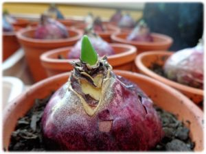 Croissance de la jacinthe