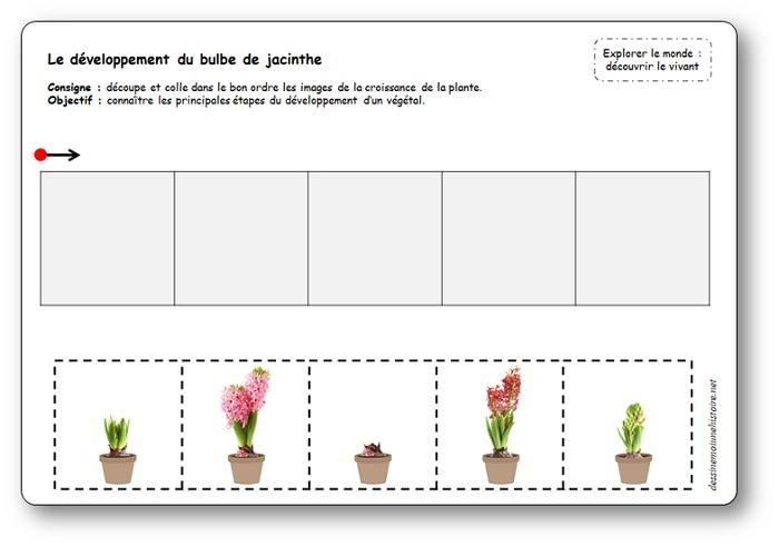 Images séquentielles des étapes du développement du bulbe de jacinthe