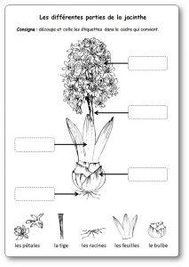 Les différentes parties de la jacinthe