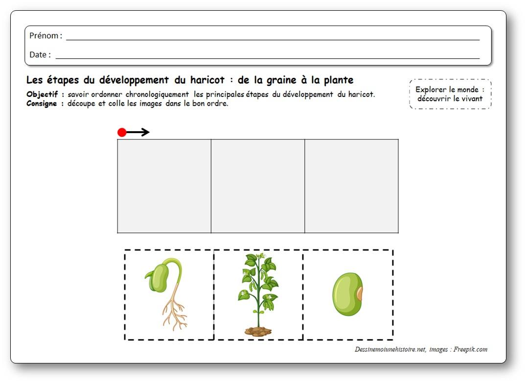 cycle de vie du haricot maternelle : 3 images séquentielles de la graine à la plante