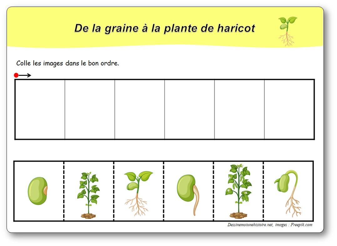 le développement du haricot : de la graine à la plante
